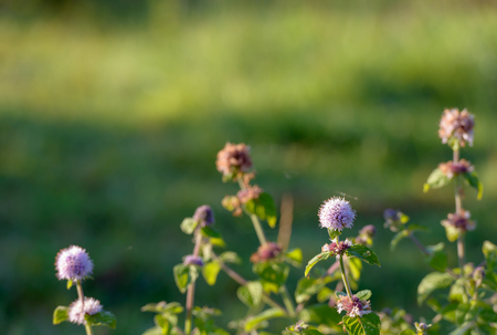 pinkish: Closeup of the pinkish to lilac colored flower of a water mint plant in the foreground in its own damp habitat in a Dutch nature reserve in early summer sunlight. Stock Photo