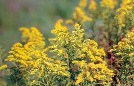 naturopathy: Closeup of yellow blooming Goldenrod or Solidago plants in a Dutch nature reserve. In naturopathy the plant is considered medicinal.