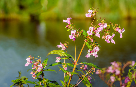 impatiens: Closeup of a budding and pink blossoming Himalayan Balsam or Impatiens glandulifera plant on the waterfront of a creek in a Dutch nature reserve in the summer season.