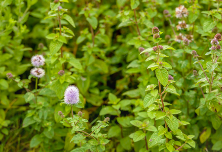 Successive stages of flowering and fresh-smelling  water mint plants in the humid environment of a Dutch nature reserve in the summer season.