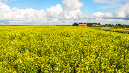 rappi: Dutch polder landscape with a large field of yellow blossoming rapeseed plants, a road and a farm in the background. Its a sunny day in the summer season. Stock Photo