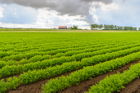 threatening: Threatening clouds above a Dutch field with carrot cultivation in long green converging rows. The soil is still wet after the rain.