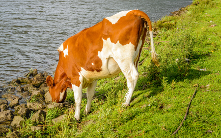 red heifer: Thirsty young red cow drink from the water of the river. Its a warm and sunny day in the summer season.