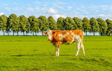 red heifer: Young red cow poses for the photographer in green meadow with a row of trees on the embankment in the background. Its a sunny day in the summer season. Stock Photo