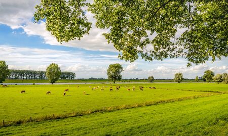 Typical Dutch rural landscape next to a river as seen from the dike. In the background red spotted cows are grazing peacefully. Stock Photo