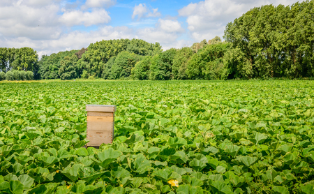 Large field with organic pumpkin cultivation and a simple wooden beehive for fertilization of the blossoms. Its a sunny day in the summer season. Stock Photo