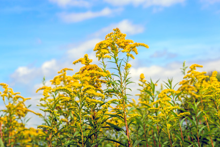 goldenrod: Closeup of bright yellow blossoming flower heads of  Goldenrod or Solidago plants against a blue sky. Its a sunny day in the summer season.