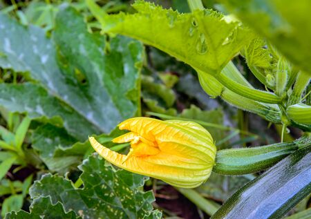 grower: Closeup of the edible budding yellow flower of a courgette plant in the field of a specialized organic grower. It is a sunny summer day. The green courgettes are still small now.