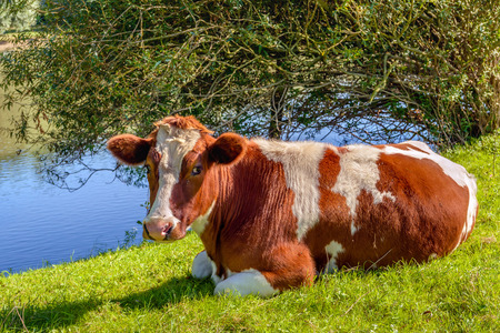 red heifer: Red Holstein cow looking at the photographer while she ruminates quietly in the grass on the bank of a small stream. Its a sunny day in the summer season. Stock Photo