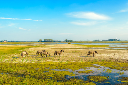 swampy: Group of wild Konik horses grazing in a swampy nature reserve on a sunny day in the summer season. The marsh area in a Dutch polder is gradually drying up. Stock Photo