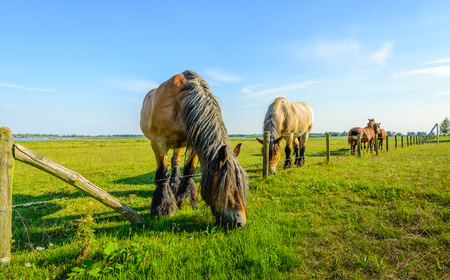 belgian horse: The grass is always greener on the other side of the fence. Large Belgian horse is eating grass at the other side of the fence.