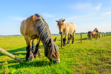 belgian horse: The grass is always greener on the other side of the fence. Large Belgian horse is eating fresh green grass at the other side of the fence. Another horse is watching the risky happening.