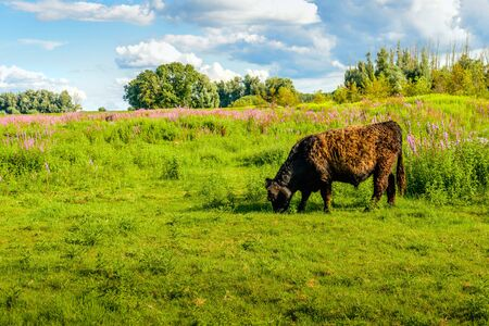 Galloway bull with a curly brown fur quietly grazing in a Dutch nature reserve with colorful wildflowers in the background. It is summer now.