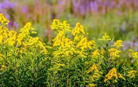 Yellow blooming Goldenrod or Solidaga plants in a nature reserve. In the blurred background Purple Loosestrife is flowering. Stockfoto