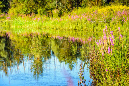 colorful water surface: Purple Loosestrife and other colorful wildflowers reflected in the water surface of a natural pond. It is a sunny day in the summer season.