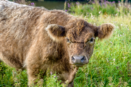 curiously: Portrait of a posing young brown Galloway bull with a curly fur curiously looking at the photographer in a Dutch nature reserve. Stock Photo