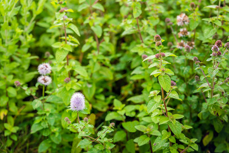 minty: Pinkish flowering, budding and overblown Water Mint or Mentha aquatica plants from close. All parts of the plant have a distinctly fresh and minty smell. Stock Photo
