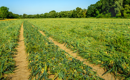 toppled: Large field with organic cultivated Onion or Allium cepa L. plants with kinked foliage. It is a sunny day in the summer season.