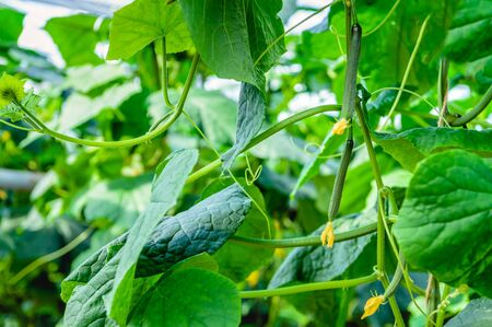 cucumis sativus: Closeup of yellow blossoming cucumber plants and very small fruits in a modern specialized Dutch cucumber nursery. The plants are grown on substrate in a high greenhouse. Stock Photo