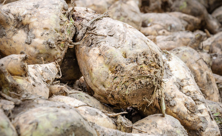 Detailed view of piled recently harvested sugar beets still covered with some clay waiting for transport to the sugar factory. The autumn season has just begun. Stock Photo