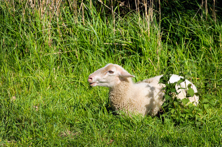 bleating: Young bleating sheep lies alone in the fresh green enjoying the spring sunshine.