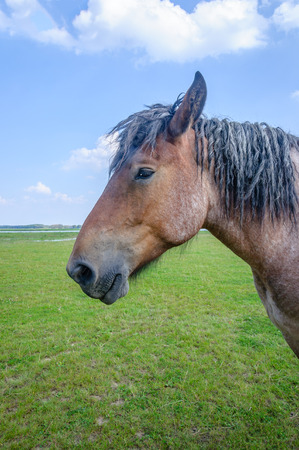 belgian horse: Closeup of a powerful Belgian horse with black manes standing in  Dutch grassland near a river in a sunny day in the summer season.