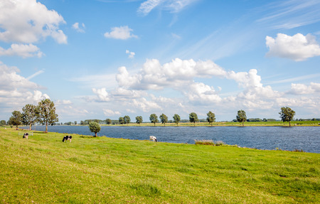 dutch: Black spotted young cows grazing  at the floodplains of a Dutch river. It is a sunny in the summer season with a blue sky and some white clouds. Stock Photo