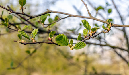 alder tree: Closeup of the fresh green leaves on a sprig of a black alder tree on a sunny day in the early spring season. The life cycle begins again.