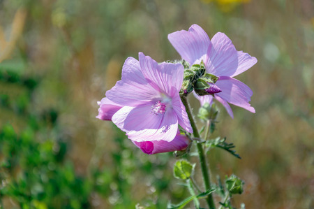 Closeup of a budding and dark pink flowering musk-mallow or Malva moschata plant in its own natural habitat on a sunny day in the summer season. Stock Photo