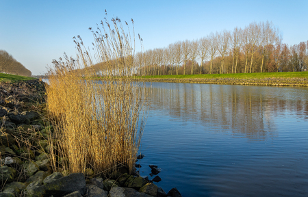 Row of bare trees reflected in the water surface of a Dutch canal. In the foreground yellowede reeds are growing between the basalt blocks on the banks.