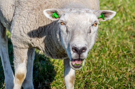 bleating: Portrait of an eating and bleating sheep with green earmarks from close on a sunny day in the beginning of the spring season in the Netherlands. Stock Photo