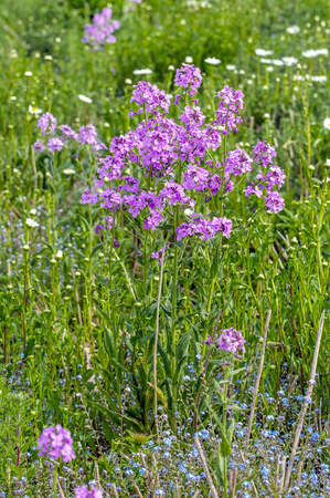 berm: Violet blossoming annual honesty or Lunaria annua plant  between other wild plants and flowers growing in a berm at the edge of a field on a sunny day during the summer season. Stock Photo