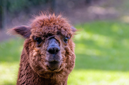 fenced in: Portrait of a funny looking brown llama with curly hair and big glistening eyes standing in a fenced Dutch park on a sunny day in the spring season. Stock Photo
