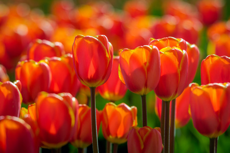 grower: Translucent red and yellow blooming tulips in early morning sunlight growing in the field of a specialized Dutch tulip bulbs grower. It is a sunny day in the early spring season.