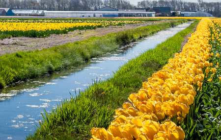 flower bulb: Landscape in the Dutch flower bulb region with yellow blooming and overblown tulips on the edge of a narrow stream. In the background are a barn, greenhouses and other buildings visible. Stock Photo