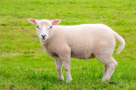 curiously: Closeup of a curiously looking little lamb posing in springtime.