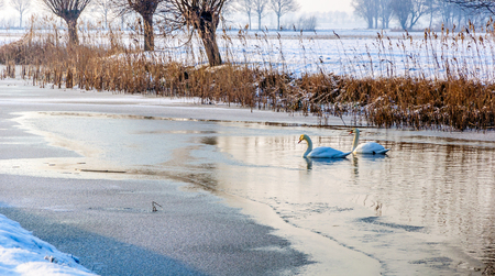 steadily: Two swans swimming together in the water between the ice of the stream in a rural area in a Dutch polder. It is winter and the ice is growing steadily. Stock Photo
