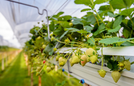 ergonomic: Outdoor substrate cultivation of strawberries under plastic film on a for the pickers ergonomic height at a specialized grower in the Netherlands. Stock Photo