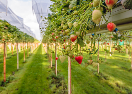 Outdoor substrate cultivation of strawberries under plastic film on a for the pickers ergonomic height at a specialized grower in the Netherlands. Stock Photo