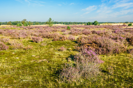 day flowering: Dutch national park Loonse en Drunense Duinen with sand dunes and purple flowering heather on a sunny day in the summer season. Stock Photo