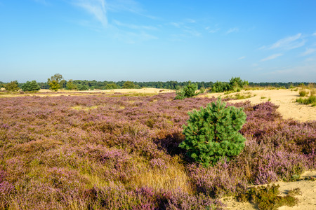 Landscape in the Dutch National Park Loonse en Drunense Duinen on a sunny day with a bright blue sky in the summer season. In the foreground, the characteristic vegetation in the park: heather and Scottish pine.