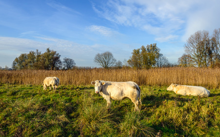 cream colored: Picturesque image of a nature reserve in the Netherlands with three cream colored cows, yellowed reeds and clumps of grass on a sunny day in the fall season. Stock Photo