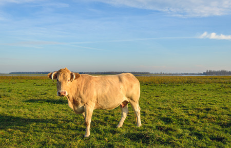 curiously: Light brown cow with horns standing in a Dutch nature reserve in low evening sunlight on a nice day in the autumn season. The cow is curiously looking at the photographer.
