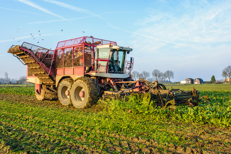 mechanization: Mechanized harvesting of sugar beets in a field in the Netherlands on a sunny day in the end of the fall season. Gulls swarming over the field.