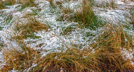 frosty morning: Closeup of long green and yellowed blades of grass covered with a thin layer of snow in a Dutch nature reserve. Its in the beginning of winter now.