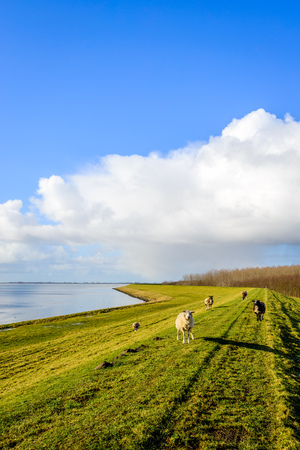 Backlit image of some sheep standing on an embankment next to a Dutch estuary on a sunny day at the end of the winter season with a bright blue sky with white clouds.
