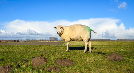 polder: One green marked sheep curiously looking on the top of an embankment with a rural polder landscape in the background. Its a sunny day in the end of the Dutch winter season.