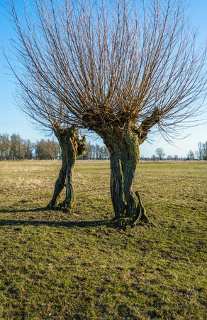 Old oddly shaped willow trees with textured bark in a Dutch landscape on a sunny day at the end of the winter season. Stock Photo