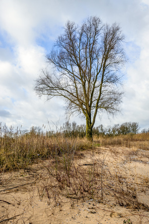 cloudy day: Colorful image of a tall leafless tree in a Dutch nature reserve next to a wide river. Its a cloudy day in the end of the winter season in the Netherlands.