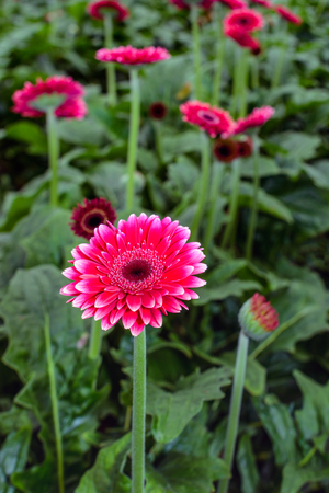 hearted: Dark red hearted red Gerbera flowers in a Dutch nursery specialized in Gerbera cut flower for export. Stock Photo